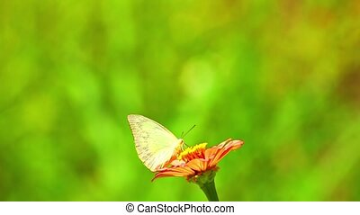 Butterfly Pieridae White Feeding Insect Footage - White ...