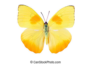 Butterfly Pieridae - Yellow butterfly from Tingo Maria in...