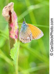 Butterfly (Polyommatus) on summer field