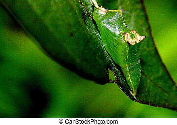 A green pupa of the butterfly