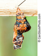 Butterfly Pupa Close Up