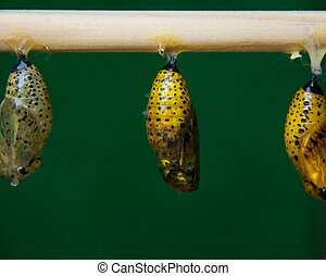 Butterfly pupa hanging.