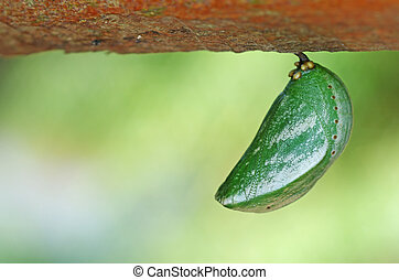 butterfly pupa is under the wood