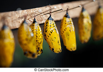 The pupal stage of beautiful butterfly, selective focus