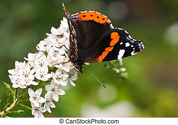 Butterfly Red Admiral on gooseneck loosestrife - Butterfly...