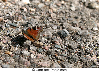 butterfly ( Saturnia )