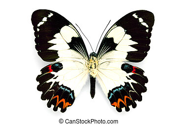 Butterfly series - Rare Beautiful Butterfly isolated on...