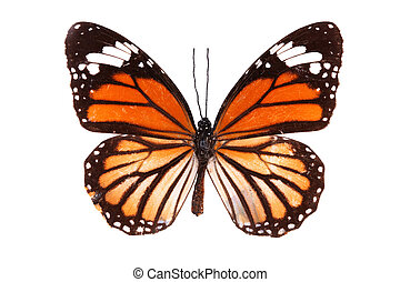 Butterfly series - The Common Tiger (Australia)