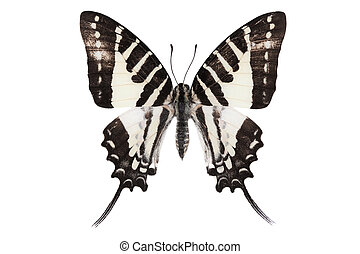 Butterfly series - The Spot Swordtail (India)