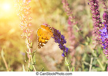 butterfly sits on a sage flower in the sunny summer day