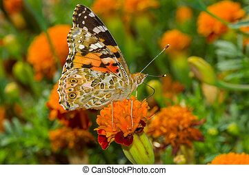 Butterfly sitting on a French marigold flower and sucking nectar at fall season