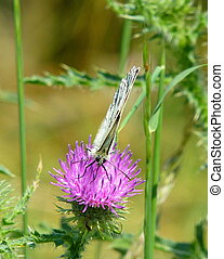 Butterfly sitting on a pink thistle