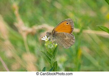 Butterfly sitting on Wild Stellaria media weed plant in flowering time and sucking nectar