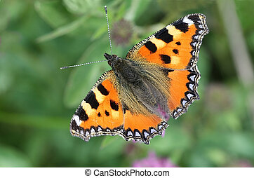 Butterfly - Small Tortoiseshell - Aglais urticae