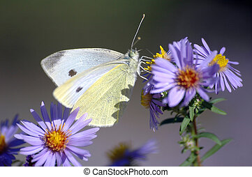 Butterfly small white