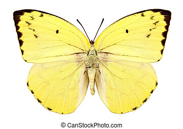 "Butterfly species Catopsilia pomona pomona ""Lemon Emigrant""..."