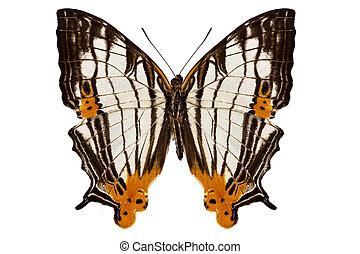 Butterfly species Cyrestis lutea martini