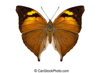 butterfly species Doleschallia bisaltide pratipa isolated on...