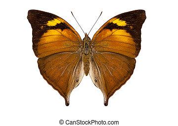 butterfly species Doleschallia bisaltide pratipa isolated on...