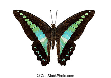Butterfly species Graphium sarpedon isolated on white...