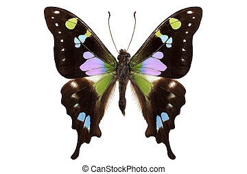 """Butterfly species Graphium weiskei """"Purple Spotted Swallowtail"""""""