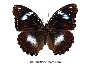 """Butterfly species Hypolimnas bolina """"Great Eggfly"""" in high..."""
