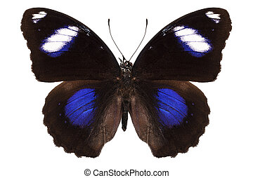"""Butterfly species Hypolimnas bolina phillippensis """"Great Eggfly"""" in high definition with extreme focus isolated on white background"""
