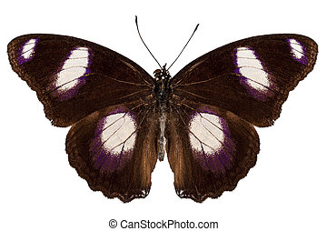 "Butterfly species Hypolimnas misippus male ""Danaid Eggfly""..."