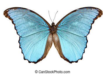Butterfly species Morpho menelaus alexandrovna isolated on...