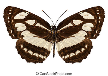 """Butterfly species Neptis hylas """"Common Sailer"""" in high..."""