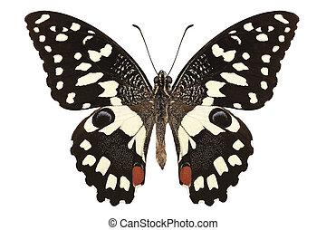 """Butterfly species Papilio demoleus """" Lemon Butterfly"""" in..."""