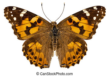 "Butterfly species Vanessa cardui ""Painted Lady"" in high..."