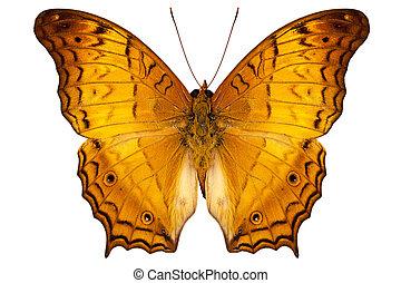 butterfly species Vindula dejone austrosundana isolated on...