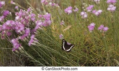 Butterfly spreads its wings sitting on a purple flower on a clearing Slow motion