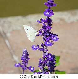Butterfly of the family Pieridae on sage flowers