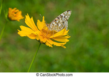 Butterfly sucking nectar on a Coreopsis flower at summer time