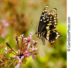 Butterfly sucking nectar