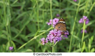 Butterfly sucking the nectar from a purple verbena flower -...