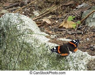 butterfly vanessa atalanta on stone