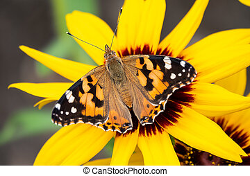 Butterfly Vanessa cardui sits on a yellow flower. Painted lady butterfly