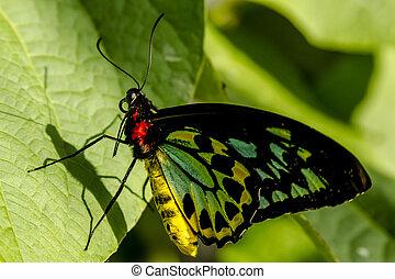 Butterfly Varieties at Botanical Gardens - Goliath birdwing...