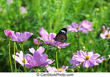 Butterfly with flower Cosmos in the garden.