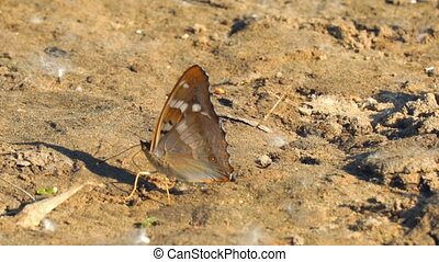Butterfly with proboscis on brown ground. Vanessa atalanta