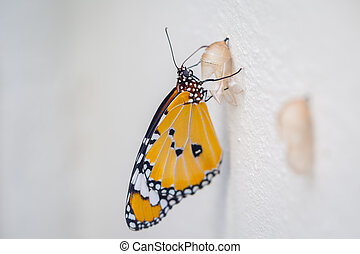 Butterfly with Pupa on white background
