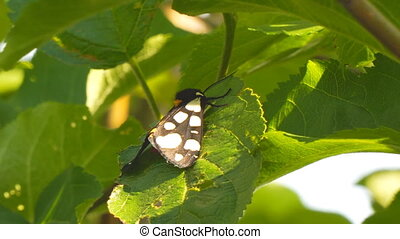 Butterfly with white spots on black wings on green leaf