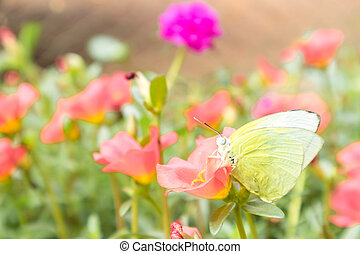 Butterfly yellow color on pink flower in the garden, selective focus