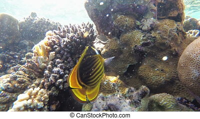 Butterfly Yellow Fish and other Colorful Fish Floating in...