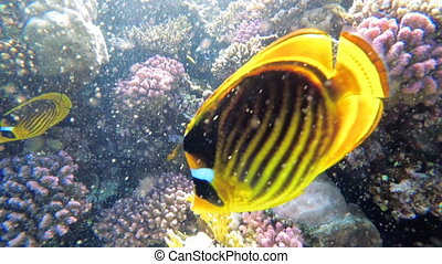 Butterfly Yellow Fish and other Colorful Fish Floating in Red Sea near the Coral Reef. Egypt. Wonderful underwater world with Tropical fish. Marine life background. Underwater view in Clear Blue Water.