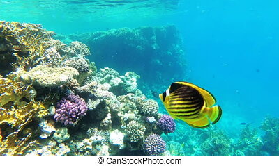 Butterfly Yellow Fish Floating in Red Sea near the Coral...