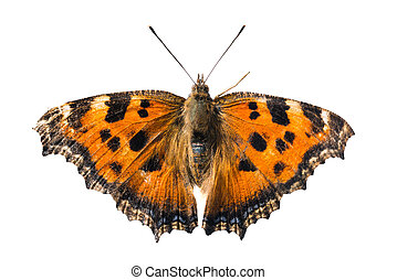 Butterfly yellow legged tortoiseshell or large tortoiseshell...